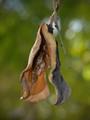 Jacaranda Seedpod
