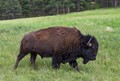 American Bison on the move.