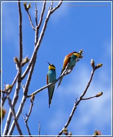 Merops apiaster (Gruccione) Photo 2