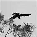 Black cockatoo.