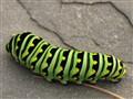 Paplio polyxenes