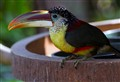 Curly Toucan