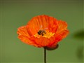 Just popping onto a Poppy