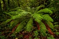 Rainforest treefern