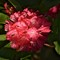Rhododendron: