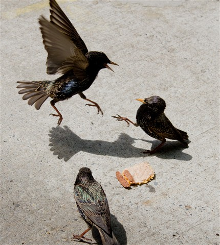 Fighting Starling