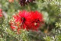 Bee and Bottlebrush