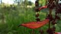 Red Garden Fringe