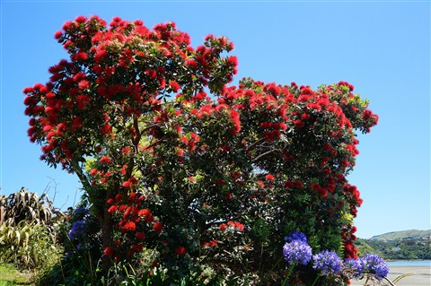 Pohutukawa Tree: New Zealand Christmas Tree