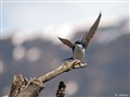 Tree Swallow taking flight by Airport