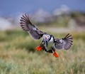 Home is the Puffin, Home from the Sea
