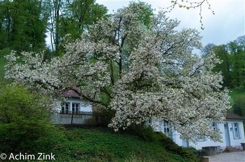 Fuerstenlager- Tuliptree