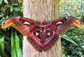 Atlas butterfly (attacus atlas) IMG_1244