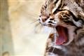 A Yawning Leopard Cat