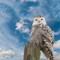 SNOWY OWL-42