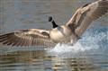 Goose-landing