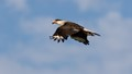 Northern Crested Caracara in flight