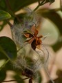 Autumn Clematis Seed Pod