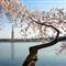 DC Cherry Blossom 2013