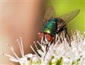 Cuban mint and a Green bottle fly