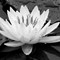 Water Lily - B/W