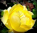 Lemon-colored rose