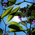 Solanum in my garden