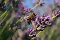 Bee on Lavender Blossom, Schlosspark Charlottenburg, Berlin