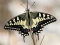 Maltese Swallowtail Butterfly