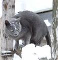 """""""snowcat"""""""