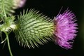 Common Thistle, Cirsium Vulgare