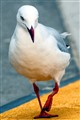 Bad tempered seagull