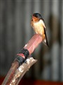 Barn swallow posing