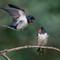 Swallows (2)