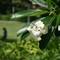 Gardening, Frangipani