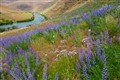 lupine / Deschutes river