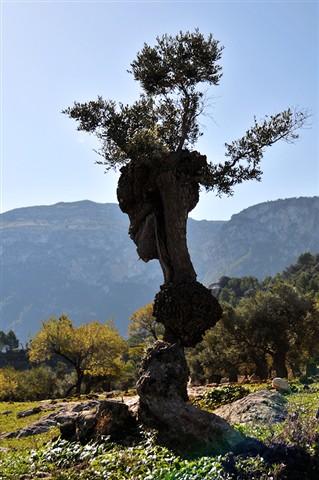 olivetree_2
