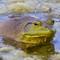 Craigs Crossing Frogs  06 05 2015 KE 004