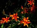 """""""Artsy Tiger Lily"""""""