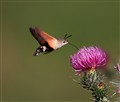 Hummingbird Hawk-moth and a flower