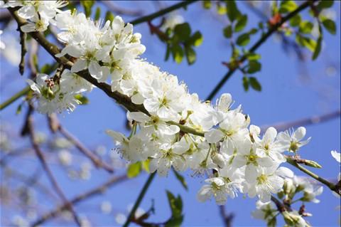 Damson Blossom 2012