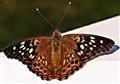 Hackberry Emporer Butterfly