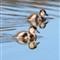 Duckling pair3