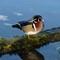 Male Wood Duck: