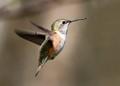 Happy Little Hummingbird