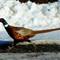 Pheasant_1561MU