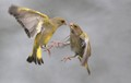 European Greenfinch fighting