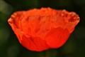 Simple Poppy.