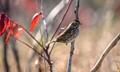 Savannah Sparrow 1-1