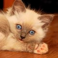 Mirre (Blue point Ragdoll)